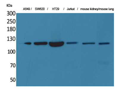 CD133 Polyclonal Antibody
