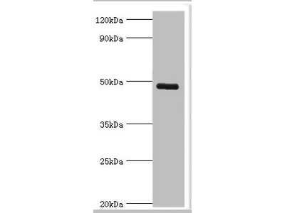 Rabbit anti-human Intermediate conductance calcium-activated potassium channel protein 4 polyclonal Antibody(KCNN4)