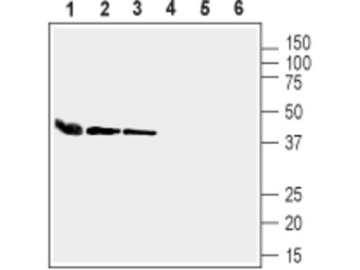 Anti-Connexin-37 Antibody