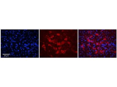 WDR23 Polyclonal Antibody