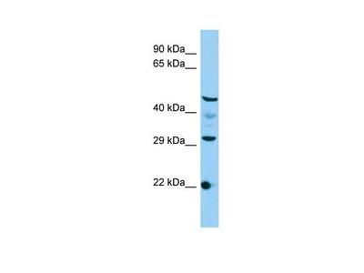 C3orf26 Polyclonal Antibody