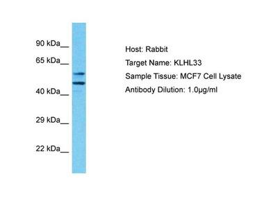 KLHL33 Polyclonal Antibody