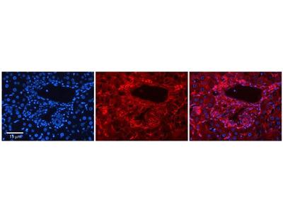 SLC26A1 Polyclonal Antibody