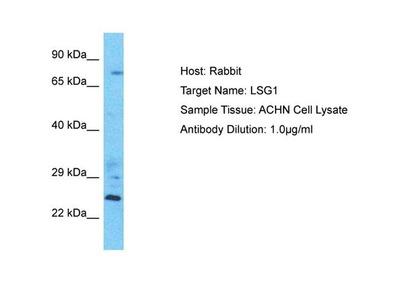 LSG1 Polyclonal Antibody