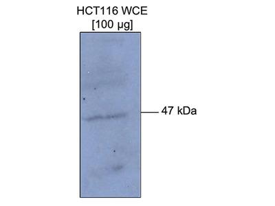 Methyl-p53 (Lys372) Polyclonal Antibody