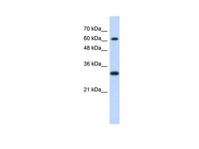 ERF Polyclonal Antibody