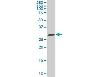 SIX3 Monoclonal Antibody (4H6)