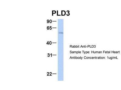 PLD3 Antibody