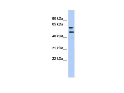 CXorf67 Antibody