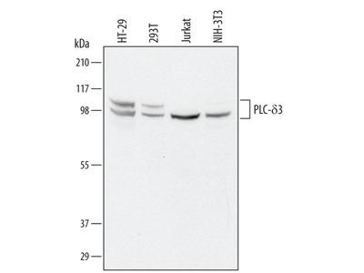 PLCD3 Antibody