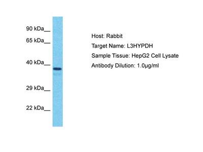 L3HYPDH Polyclonal Antibody