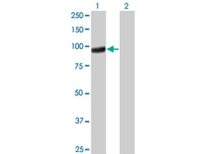 PCDHGA5 Monoclonal Antibody (5H5)