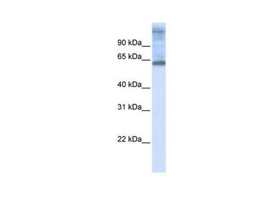 C3orf17 Polyclonal Antibody