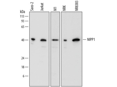PPP1R8 Antibody