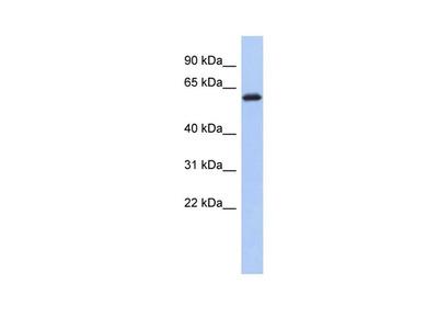 KLHL7 Polyclonal Antibody