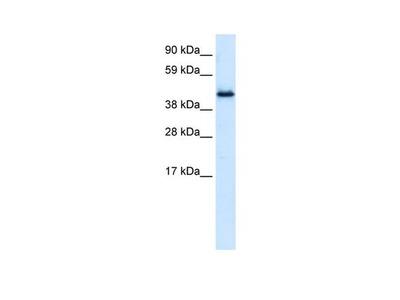PLRG1 Polyclonal Antibody