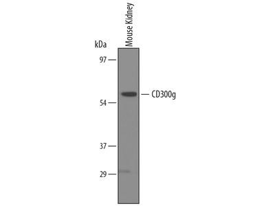 CD300g Polyclonal Antibody
