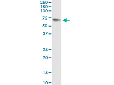 Glypican 5 Monoclonal Antibody (1C9)