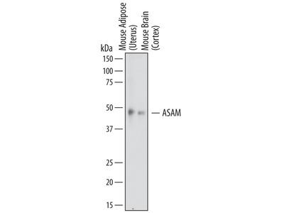 ASAM Antibody