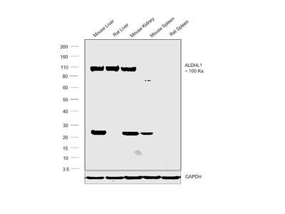 ALDH1L1 Polyclonal Antibody