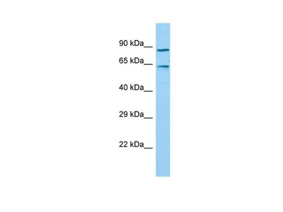 TIGD7 Antibody