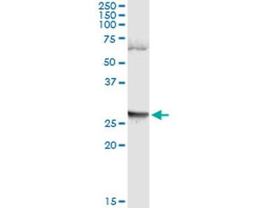 LFNG Monoclonal Antibody (4F8)