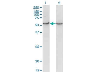 COX15 Monoclonal Antibody (2D2)