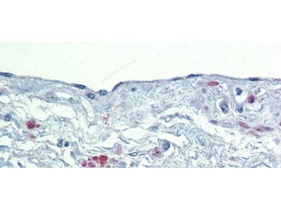 SOX7 Polyclonal Antibody