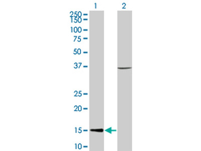 CHRAC1 Antibody