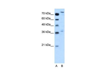 NFE2L3 Polyclonal Antibody