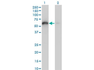 BAG4 Monoclonal Antibody (2G9)