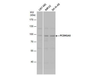 PCDHGA5 Polyclonal Antibody