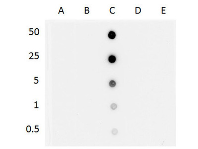 5-hydroxymethylcytosine Monoclonal Antibody (3I7)