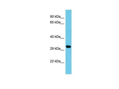ATP5SL Polyclonal Antibody
