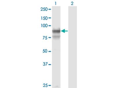 PCDHGB2 Monoclonal Antibody (6E9)