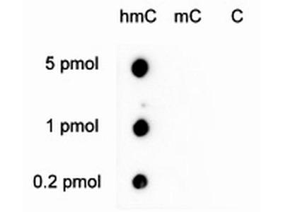 5-hydroxymethylcytosine Polyclonal Antibody