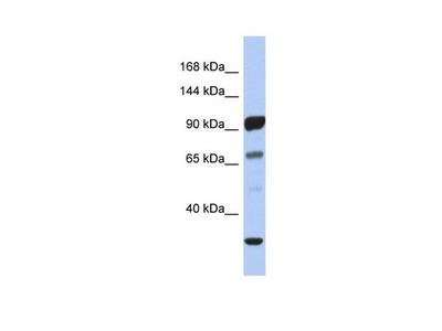 PCDHA10 Polyclonal Antibody