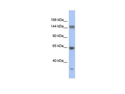 Ataxin 2 Antibody