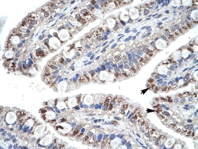 MIP-4 Antibody