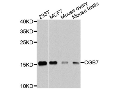 CGB7 Antibody