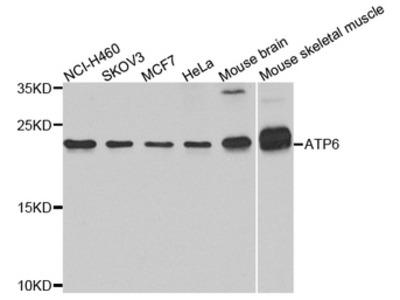 ATPASE6 / ATP6 Antibody