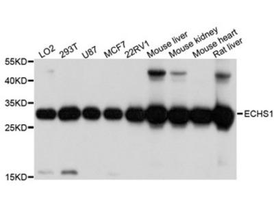 SCEH / ECHS1 Antibody