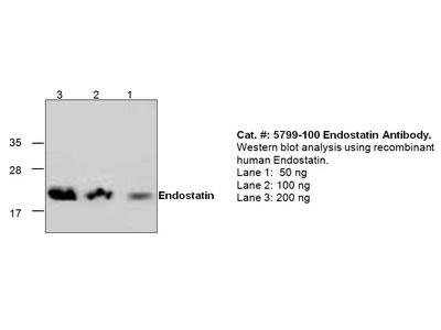 Endostatin Antibody