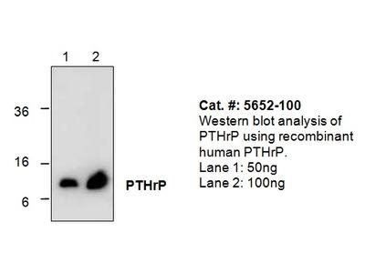 PTHrP Antibody