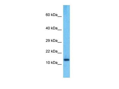 PPIAL4C antibody