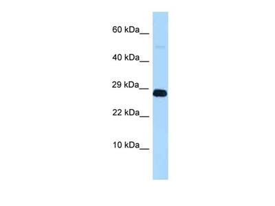 Rnf11l antibody