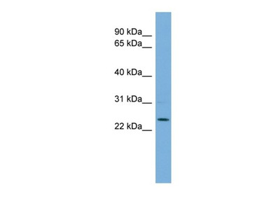THAP6 antibody