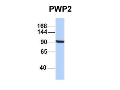 PWP2 antibody