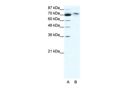TMEM260 antibody