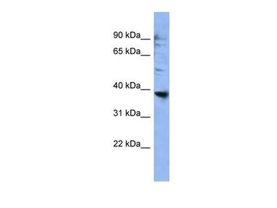 OR2L3 antibody